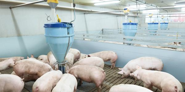 bluhox-meat-pigs-update-range-of-feeding-systems