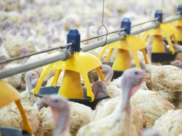 titan-launch-largest-feeder-pan-turkeys